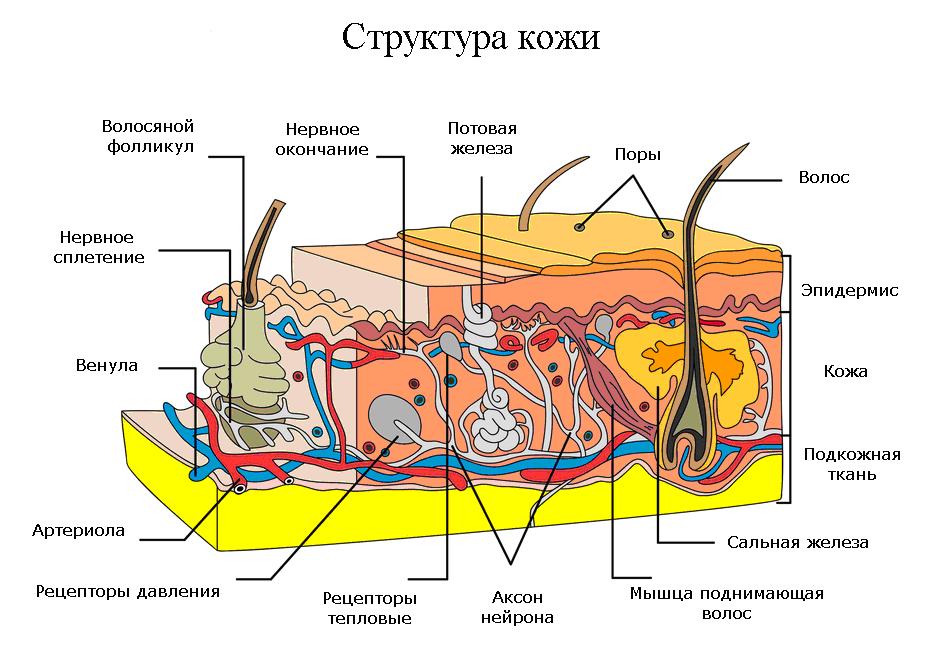 struktkozh